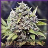 Female Auto AK Feminised 4 Marijuana Seeds